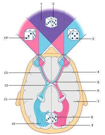 schéma expliquant la vision binoculaire de l'humain